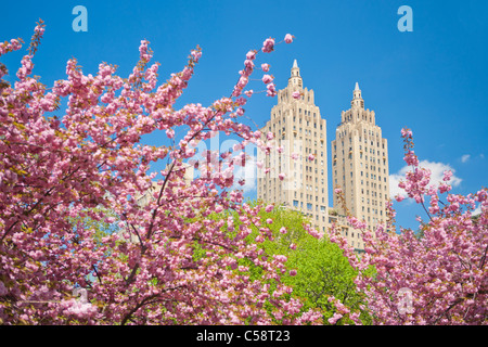 Cherry Blossoms in Central Park, New York - Stock Photo