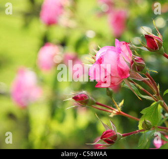 Tender small rose on blurred background. - Stock Photo