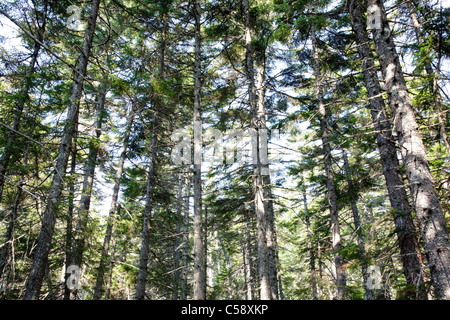 Nancy Brook Scenic Area - Old-Growth Forest in the White Mountain National Forest of New Hampshire USA - Stock Photo