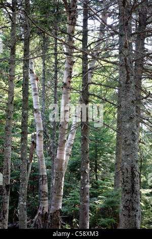 Nancy Brook Scenic Area - Old-Growth Forest in the White Mountain National Forest of New Hampshire USA. - Stock Photo