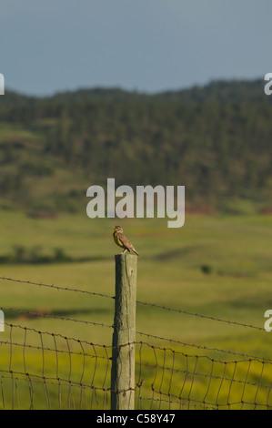 A Western Meadowlark sings on a perch in Custer State Park, South Dakota - Stock Photo