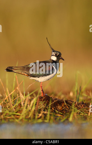 Portrait of an Northern Lapwing (Vanellus vanellus). Europe - Stock Photo