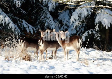 Roe deer in snow - Stock Photo