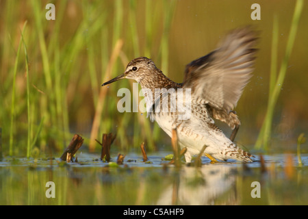 Wood Sandpiper (Tringa glareola) shaking his wings dry. - Stock Photo