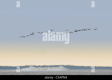 Common Crane's (Grus grus) are flying over the sea, Spring migration. April 2011, Europe. - Stock Photo