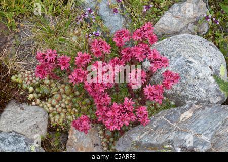Cobweb houseleek, Sempervivum arachnoideum, Valgrisenche, Italian Alps - Stock Photo