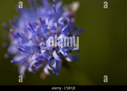 Close up of Jasione montana flower. Also known as Sheep's Bit. - Stock Photo