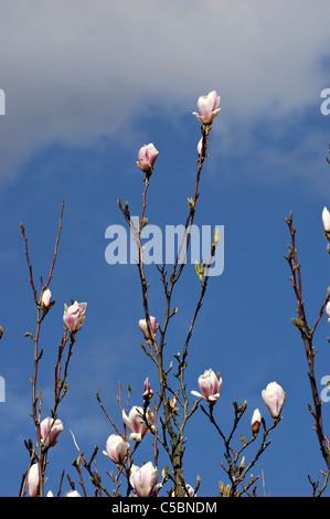 Close-up of Magnolia beauty against blue sky - Stock Photo