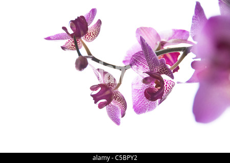 A purple orchid on a white background - Stock Photo