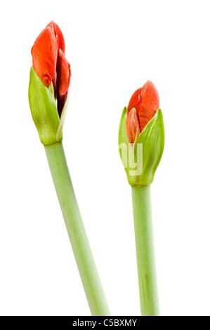 Close-up of Amaryllis buds against white background - Stock Photo