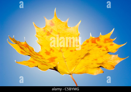 Close-up of a yellow autumn maple leaf against clear blue sky - Stock Photo