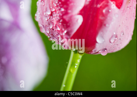 Extreme close-up of water droplets on pink and purple tulips - Stock Photo