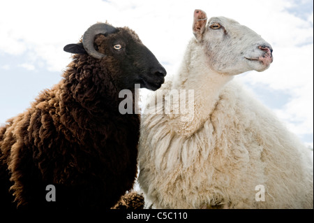 Black and white sheep looking away against cloudy sky - Stock Photo