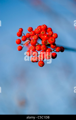 Close-up of red berries on a blurred blue background - Stock Photo