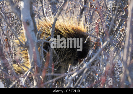 A porcupine sits in a low lying tree slowly eating the bark off it's branches in winter in Saskatchewan, Canada. - Stock Photo