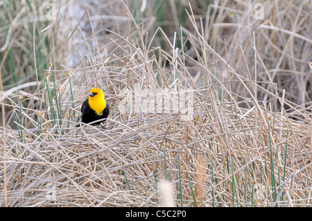 A male yellow headed blackbird sits amongst reeds looking for a mate. - Stock Photo