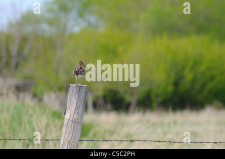 A Wilson's Snipe, Gallinago delicata, sits on top of a fencepost in a provincial park in Saskatchewan, Canada. - Stock Photo