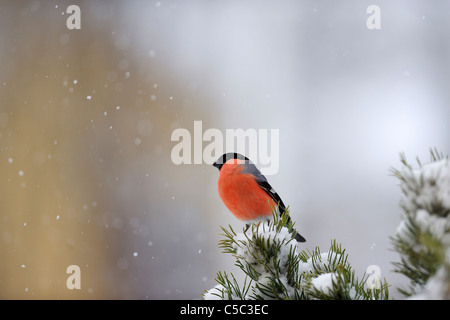 Side view of bullfinch in snow against blurred background - Stock Photo