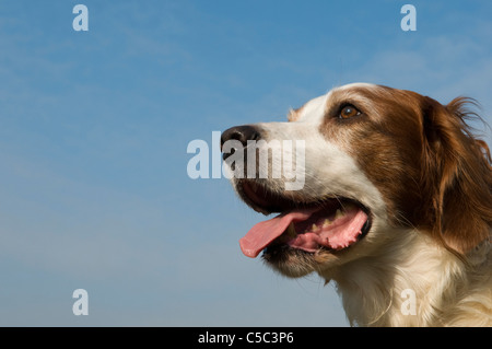 Portrait of an Irish Red and White Setter Dog - Stock Photo
