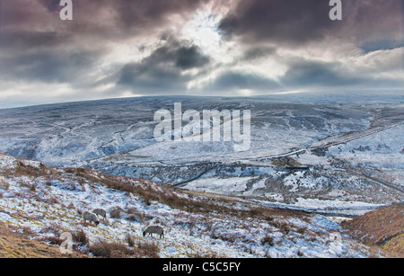Sheep Grazing On Snowy Landscape; Yorkshire Dales, England - Stock Photo