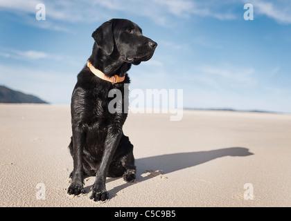 Black Labrador Dog On Beach; Los Lances Beach, Tarifa, Cadiz, Andalucia, Spain - Stock Photo