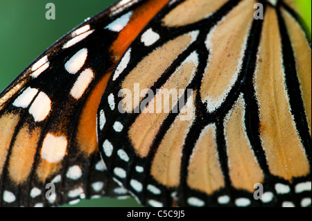 Danaus Plexippus . Monarch butterfly wing pattern - Stock Photo