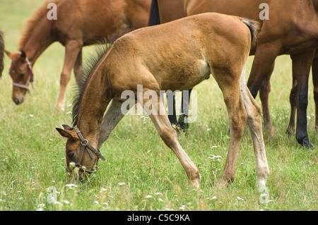 A foal with a herd of horses on a pasture - Stock Photo