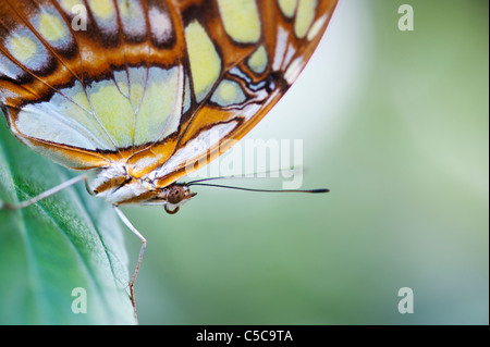 Siproeta stelenes . Malachite butterfly - Stock Photo