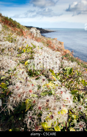 Traveler's Joy; Clematis vitalba; or Old Man's Beard; Lowland Point; Cornwall - Stock Photo