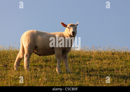 sheep on dyke of North Sea near St.-Peter-Ording - Stock Photo