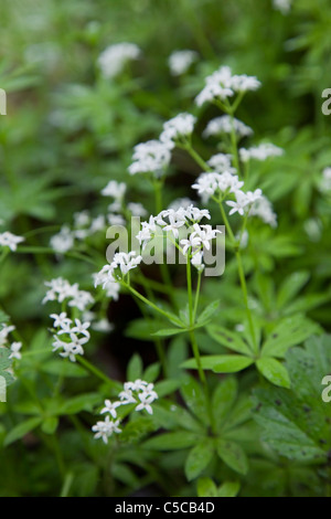 Woodruff; Galium odoratum; Scotland - Stock Photo