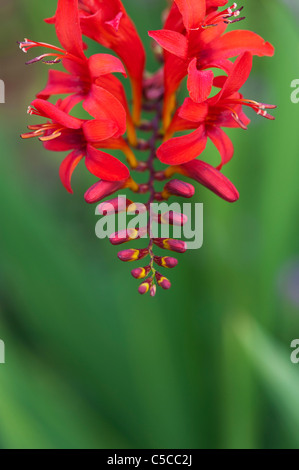 Crocosmia lucifer flowers in an english garden - Stock Photo