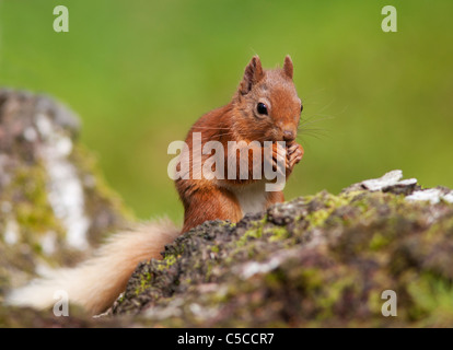 Red squirrel Sciurus vulgaris feeding on fallen log in woodland,  Strathspey, Scotland - Stock Photo