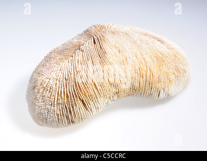 illegal endangered species product from CITES list - Mushroom Coral (Fungia) - Stock Photo
