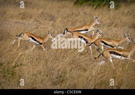 Herd of Thomson's Gazelles Running Together in the Masai Mara National Reserve, Kenya, Africa - Stock Photo