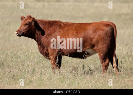 Red angus cow on pasture - Stock Photo