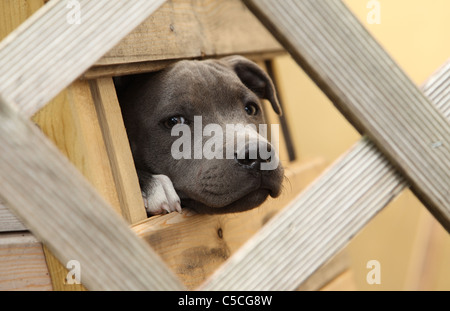Young Staffordshire Bull Terrier looking through a hole in a box - Stock Photo