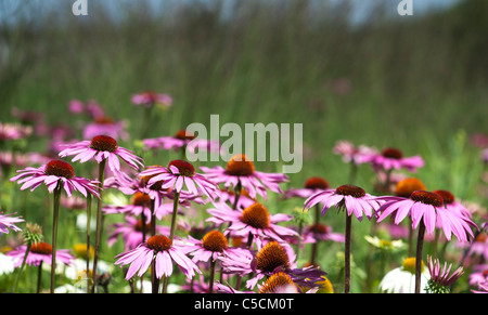 Echinacea purpurea 'rubinglow' coneflowers - Stock Photo