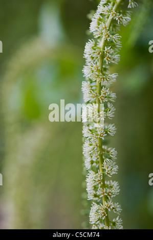 Itea ilicifolia flowers - Stock Photo