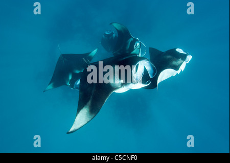 reef manta rays, Manta alfredi, feeding on plankton, Hanifaru Bay, Hanifaru Lagoon, Baa Atoll, Maldives - Stock Photo