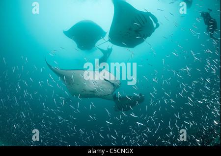 manta rays, Manta alfredi (formerly Manta birostris ), feeding on plankton, Hanifaru Bay, Baa Atoll, Maldives ( - Stock Photo