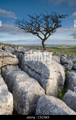Lone Hawthorn Tree growing through the Limestone at Prior Rakes above Malham in The Yorkshire Dales UK - Stock Photo