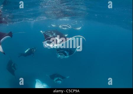 scuba diver photographs reef manta rays, Hanifaru Lagoon, Maldives - Stock Photo