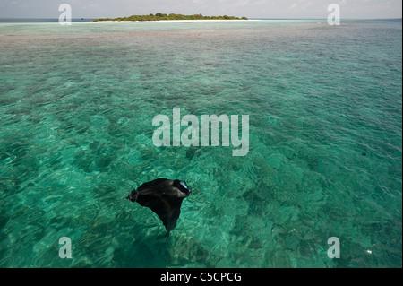 manta ray feeding on plankton, with Hanifaru Island in background, Hanifaru Lagoon, Baa Atoll, Maldives Stock Photo