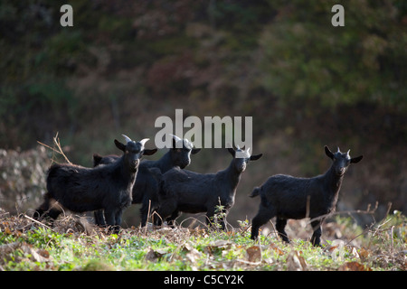 herd of black goat - Stock Photo