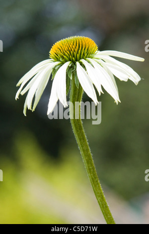Echinacea purpurea 'White Swan' - Stock Photo