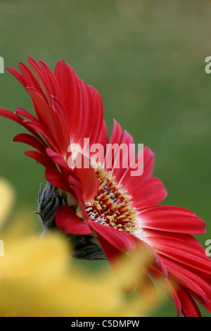 Close-up of a beautiful gerbera flower against blurred green background - Stock Photo