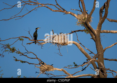 View of cormorant nests on branches in a bare tree against clear blue sky - Stock Photo