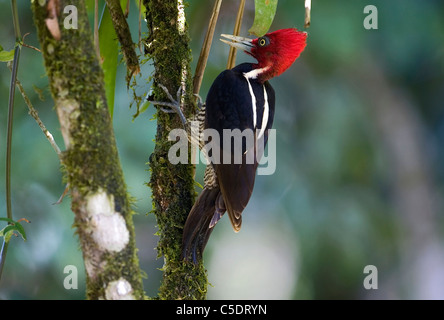 Side view of a woodpecker on tree trunk against blurred background at Costa Rica - Stock Photo