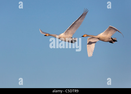 Low angle view of two flying whooper swans against clear sky - Stock Photo